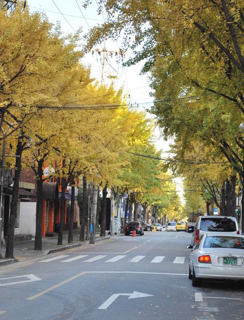 Yellow ginko trees in autumn along Garosugil, in Gangnam's Sinsa-dong.
