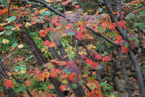Close up of red and orange leaves in the autumn in Korea.