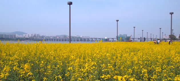 A field of yellow flower at the Banpo Hangang Riverside Park in Seoul