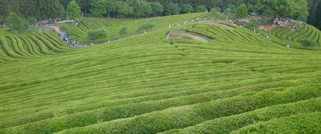 Rolling green fields of tea plantation with trees in the background at Boseong.