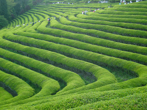 Terraced field on the side of a mountain with bright green hedges, at Boseong, people walking between the hedges.