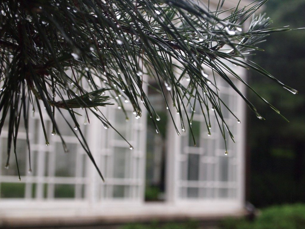 A close up of a pine tree branch with dew drops on the leaves, in the background, Daeonsil glass house in soft focus.