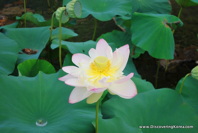 Water lily flower in Yangsuri surrounded by leaves.