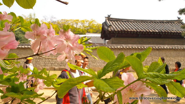 Close up of a pink flowering tree with soft focus pedestrians in the background, a stone wall and a roof visible above the wall at Jongmyo royal shrine.