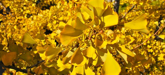 Close up of bright yellow gingko leaves and fruit.