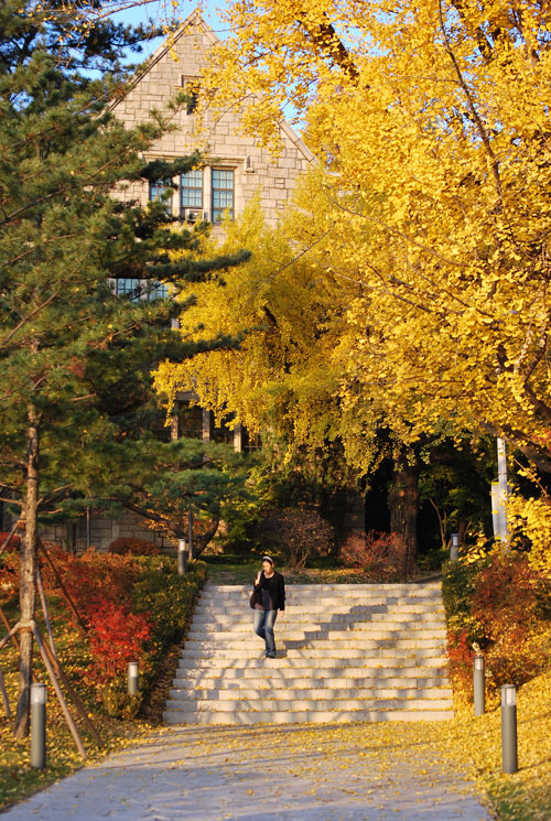Vertical image of a woman walking down stone steps from a stone house with a large yellow gingko tree in full bloom. Yellow leaves and fruits line the pathway.