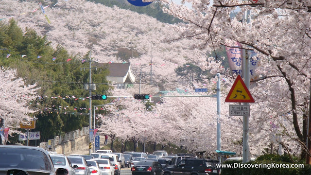 An urban setting in the city shows the streets and hillside covered in pink cherry blossom blooms.