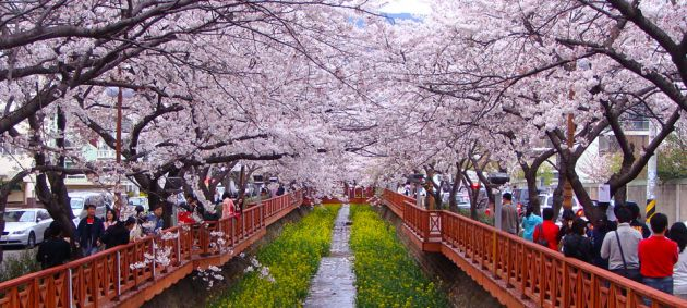 Rows of ornamental cherry trees in bloom line a promenade during the Jinhae Cherry Blossom Festival