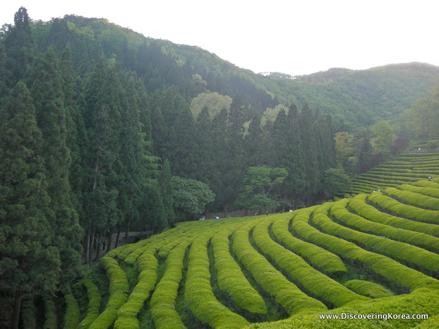 Neat rows of bright green tea plants, contrasting with darker green forest to the left of the frame and in the background at Boseong.