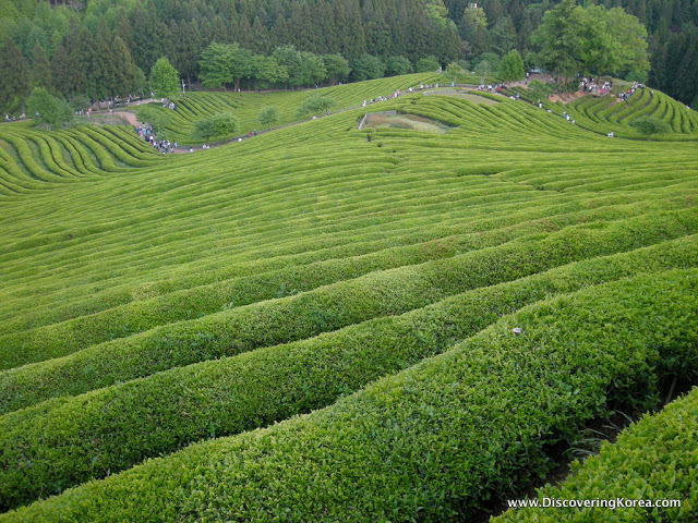 Neat rows of tea plants, on a contoured landscape, with trees in the background at Boseong.