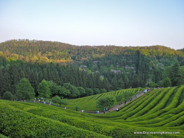 Looking down over a tea plantation at Boseong, neat rows of tea shrubs with the forest in the background in soft sunshine.