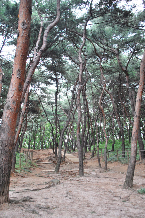 A wooded area with pine trees, a sandy forest floor and in the distance a pathway leading through the woods.