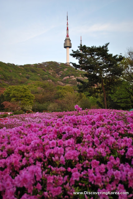 Pink wildflowers in the foreground, behind them vegetation and trees, and in the background Seoul tower with it's red and white spire.