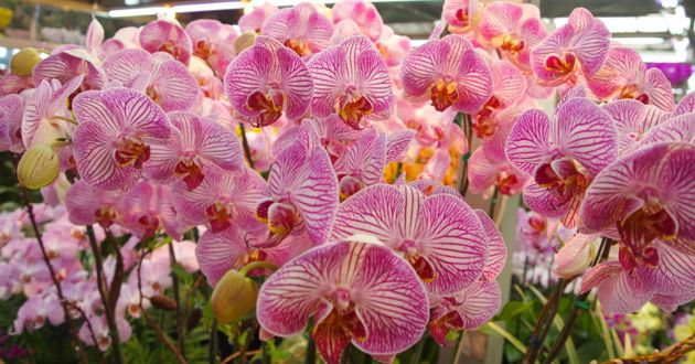Close up of a cluster of pink and white orchids at Yangjae Flower Market in Seoul.