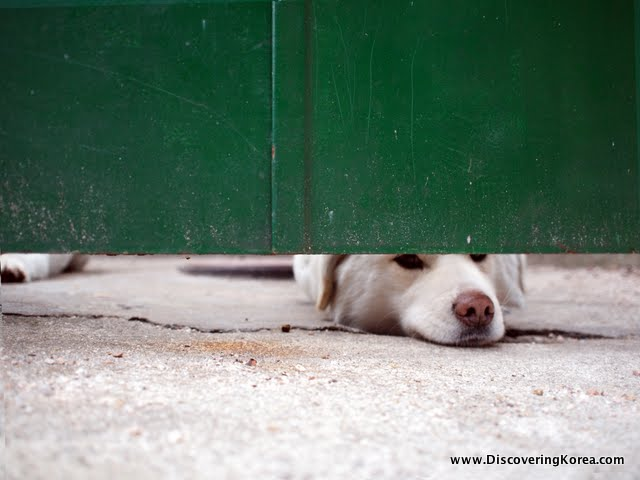 A white dog pokes his nose underneath a green door, on a concrete floor.