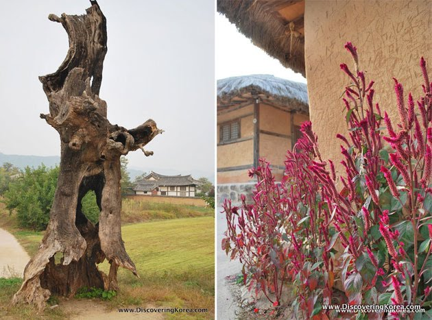 Two pictures side by side, on the left is a dead tree with an interesting shaped hollowed out trunk, a house in the background and lawns. To the right is a close up of a red bush outside a clay wall with a thatched roof home behind.