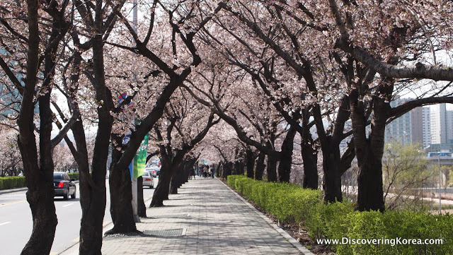 A view down a pedestrian sidewalk in Yeouido lined with cherry blossoms. The soft pink flowers contrast with the dark tree trunks, and the green bushes.