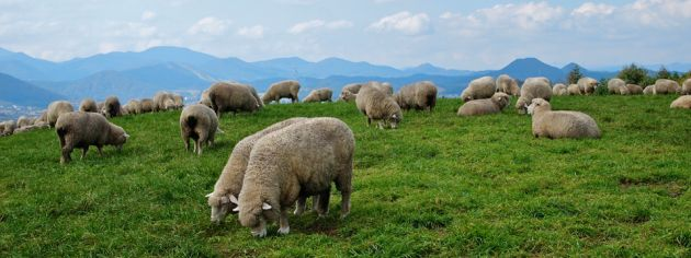 A panoramic scene of a group of sheep grazing on lush green grass at Daegwallyeong sheep farm in Korea. In the background are mountains and forests.