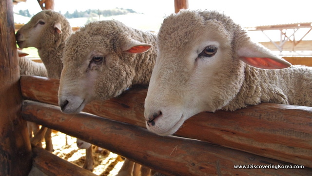 A close up of three sheep faces with their heads over a wooden fence rail.