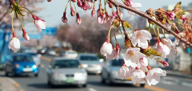 A close up image of spring cherry blossom on Yeouido Island, in the background is a street with cars in soft focus.